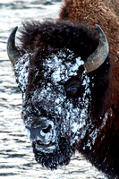 Snow Faced Bison Winter Yellowstone