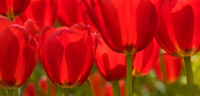 red-tulips-closeup-backlit