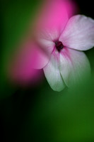 Closeup of phlox seen through the softness of surrounding leaves.