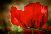 Red poppy, Provence, France.