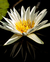 White waterlily and reflection.