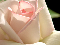 Soft white and pink rose petals.
