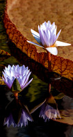 Two purple waterlilies reflected in a pond.